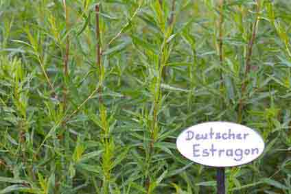 Perennial aster herbs: Southernwood