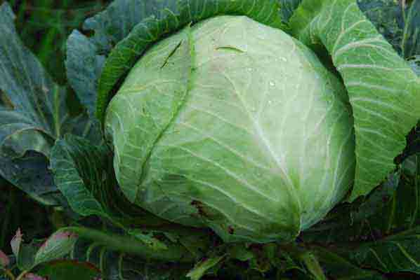 White cabbage (Cabbage)